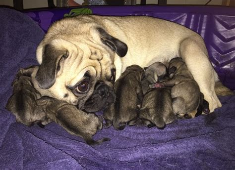 pugs for sale in michigan view ad pug puppy for sale michigan alma