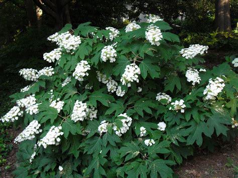 hydrangea bianca s legacy