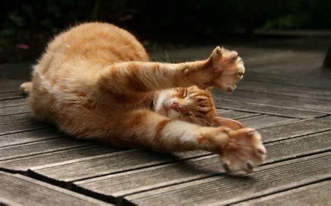 wallpaper lazy cat lazy yellow markings tabby cat hd desktop wallpaper 8