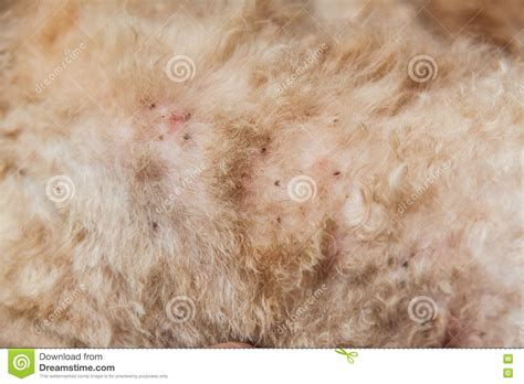 skin mites on dogs demodex mites on dogs breeds picture