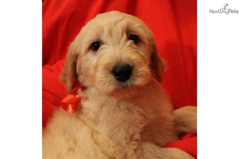 goldendoodle puppy atlanta goldendoodle puppy for sale near atlanta fe37ac02 c3a1