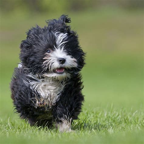 havanese breeders ma 30 cutest pictures of havanese puppies best photography landscapes and animal
