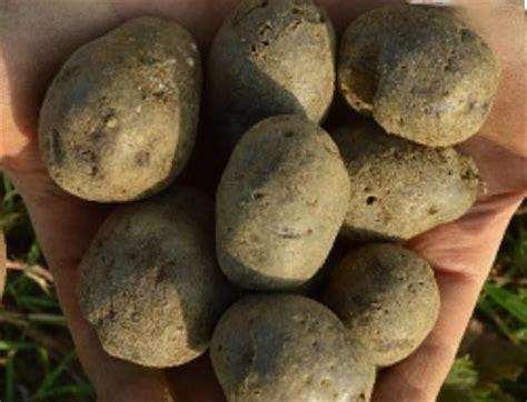 Alte Kartoffelsorten Kaufen 2298 by Saatgut Und Jungpflanzen F 252 R Seltene Kulturpflanzen