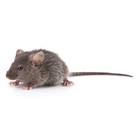 huis muis huis muis bestrijden with tegen muizen in huis