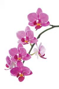 orchid species clipart clipground