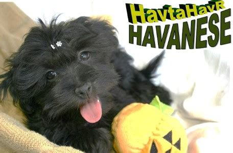 havanese animal planet havanese 101 animal planet breeds picture