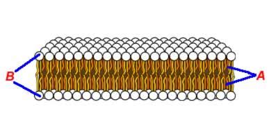 cell membranes structure  function