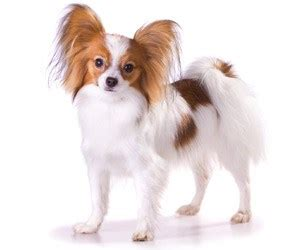 papillion tail how long to keep hair how to brush a papillon coat dog grooming tutorial