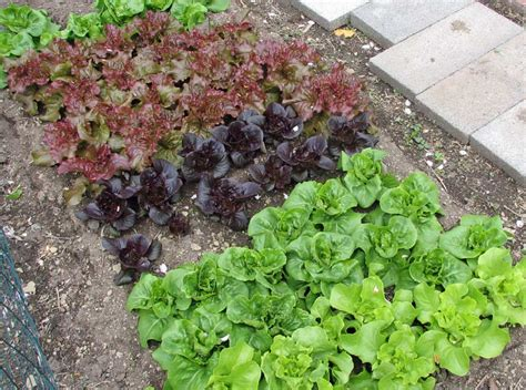How To Lettuce From Your Garden by Growing Lettuce Our Edible Garden