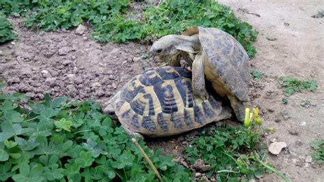 lada per tartarughe di terra accoppiamento tartarughe di terra