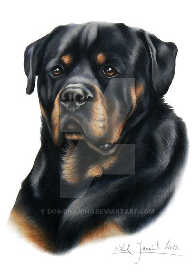 rottweiler drawing rottweiler puppy drawing breeds picture
