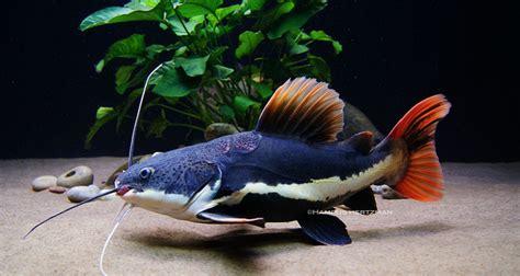 Jual Pakan Ikan Predator 5 ikan predator yang dapat di pelihara di akuarium kolam