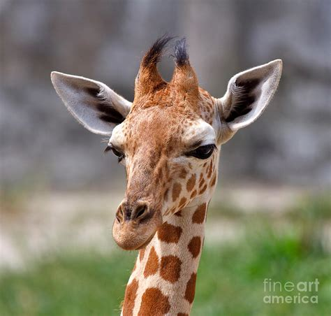 Curtains Home Decor by Baby Giraffe Photograph By Louise Heusinkveld