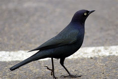 The Nature Of Framingham Those Western Blackbirds