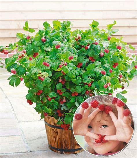 strauch als sichtschutz 5031 topf himbeere ruby 174 1 pflanze garten t 246 pfe