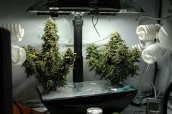 aerogarden grow tips  large nugs  medical marijuana