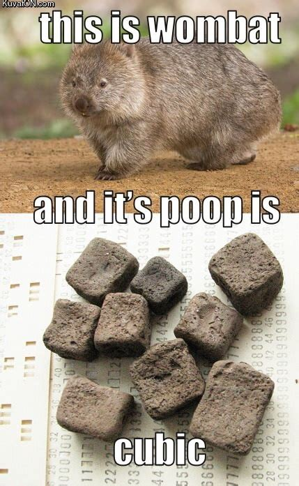 Poo Meme - pin wombat poop on pinterest