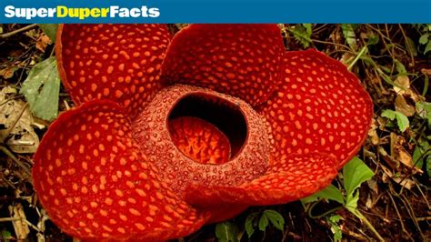 New Raflesia the worlds flower rafflesia arnoldii