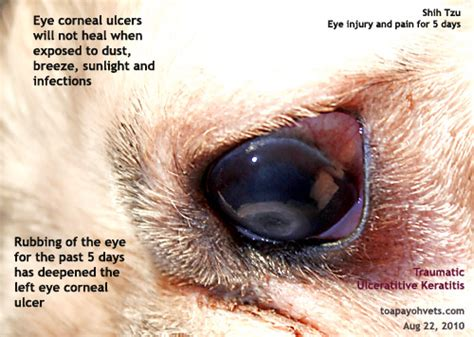 shih tzu eye ulcer 1221singapore veterinary education shih tzu corneal injuries eye ulcer