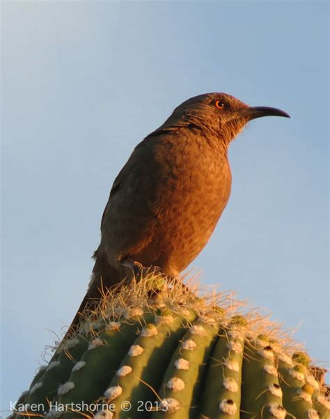 tucson bird watching arizona bird watcher