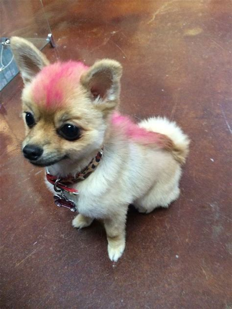 pomeranian hair pink mohawk for foxxy pomeranian hair cut pet