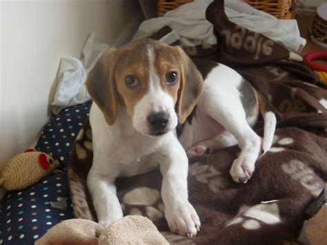 12 week puppy 12 week beagle puppies for