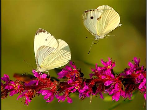 wallpaper flower and butterfly hd wallpapers best hd butterflies and flowers wallpapers