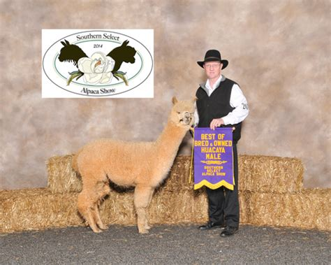creature comforts inman sc alpaca herdsires oa2 southern comfort huacaya male