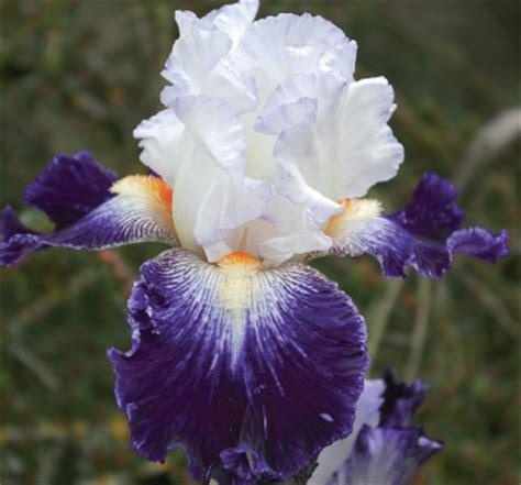 foto fiore iris fiore di iris fare di una mosca