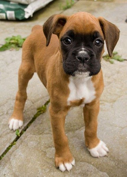baby boxer puppies baby boxer vinny