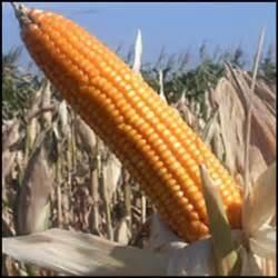 Pupuk Golstar Mempercepat Pertubuhan Tanaman Buah pupuk untuk tanaman jagung bimbingan