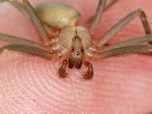 Do Spiders Eat Bed Bugs by The Low On Brown Recluse Spiders Alexanderteam