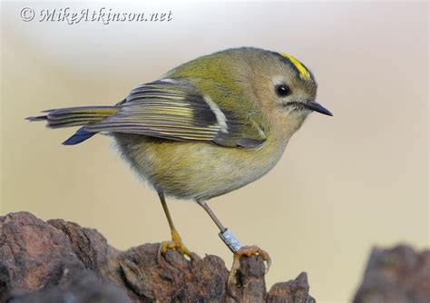 goldcrest birds pinterest