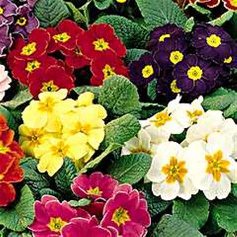 lade per fioritura giardinaggio il mio giardino sul balcone primula