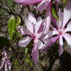 onlineplantcenter 5 gal 4 ft pink magnolia tree m3877g5