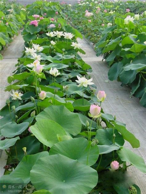 lotus seed growing mixed colors bowl lotus seed water seeds for growing