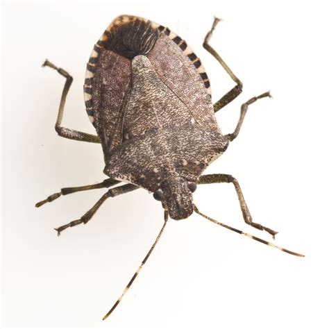 photos bed bugs stink bug free images at clker com vector clip art online royalty free public