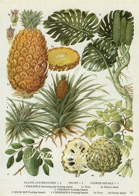 Vintage Botanical Print Pineapples fruit pine apple kitchen