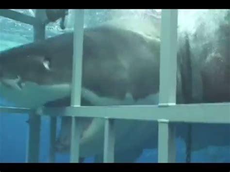 gabbia squali grande squalo bianco contro la gabbia requin blanc sur