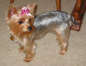 can you cut silky terrier hair short yorkie cuts for short haired silky puppy cut silky