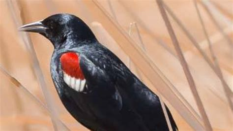 tri colored blackbird about tricolored blackbirds tricolored blackbird portal