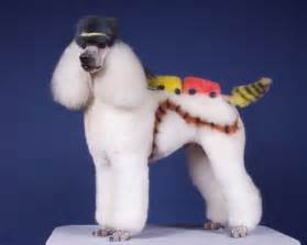 pictures of poodle haircuts strange poodle haircuts 12 pics curious funny photos