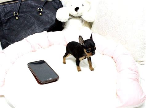teacup miniature pinscher puppies for sale 1000 images about micro pups on mini pomeranian micro pomeranian and