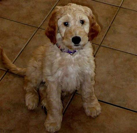 doodle puppy info pin doodle information and pictures on