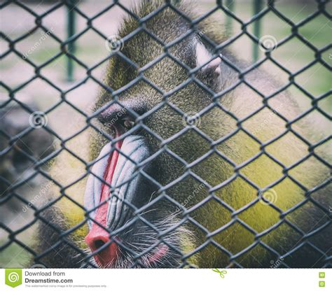 mandrill baboon monkey sad   cage stock image image  captive male