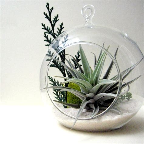 air plants cedar sprig air plant terrarium