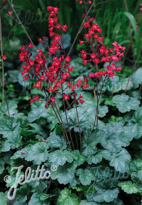 Benihbijibibit Bunga Heuchera Mix 1 jelitto perennial seed heuchera sanguinea coral tm portion s