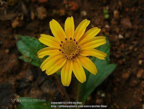 creeping daisy sphagneticola trilobata gardenorg