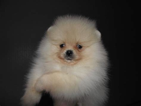 pomeranian for sale australia bred puppies for sale pomeranian for sale adoption from australian capital territory