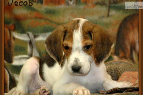 foxhound puppies for sale american foxhound puppy for sale near kirksville missouri